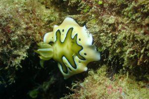シラナミイロウミウシ Goniobranchus coi