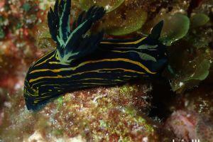 イシガキリュウグウウミウシ Tyrannodoris luteolineata