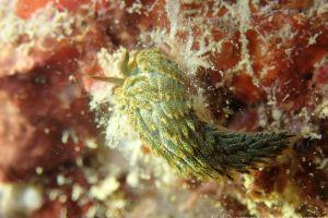 所属科不明のミノウミウシ類の一種 2 Aeolidioidea sp. 2