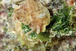 ミドリアメフラシ Aplysia oculifera