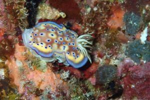 オトヒメウミウシ Goniobranchus kuniei
