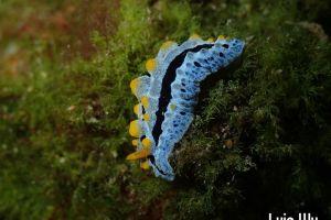 ソライロイボウミウシ Phyllidia coelestis