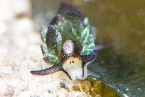 オオアリモウミウシ Costasiella formicaria
