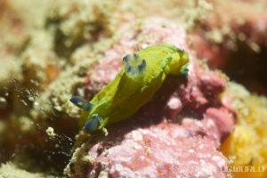 オオクチリュウグウウミウシ Tyrannodoris sp. 1