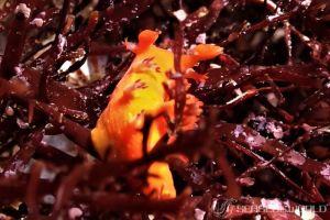 ヒメエダウミウシ Kaloplocamus acutus