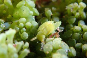 ナギサノツユ Oxynoe viridis