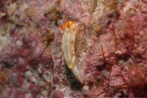 ハナムスメウミウシ Thorunna sp. 4