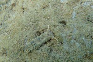 チドリミドリガイ Plakobranchus ocellatus