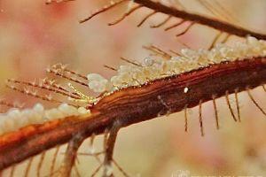 ホリミノウミウシ属の一種 3