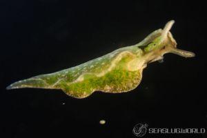 イズミミドリガイ Elysia nigrocapitata
