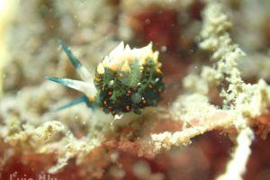 ホリミノウミウシ属の一種 14 Eubranchus sp.14