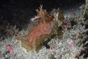 プロカモペルス・セイロニクス Plocamopherus ceylonicus