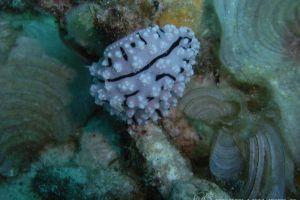 フィリディエラ・ラドマンイ Phyllidiella rudmani