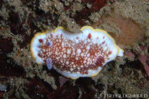 サラサウミウシ Goniobranchus sp.16