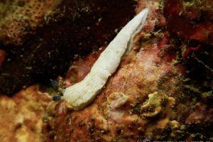 サギリオトメウミウシ Dermatobranchus semistriatus