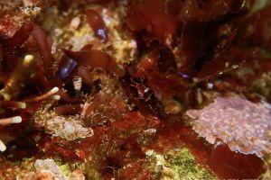 クロヘリアメフラシ Aplysia japonica