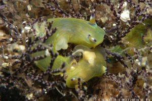 コミドリリュウグウウミウシ Martadoris amakusana