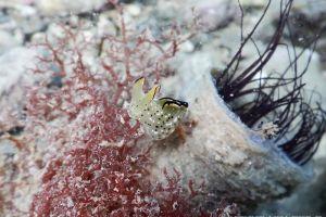 コノハミドリガイ Elysia marginata