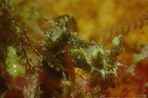 フジタウミウシ Polycera fujitai