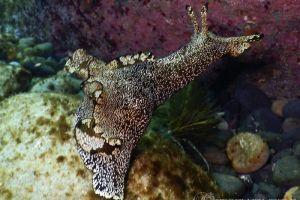 アメフラシ Aplysia kurodai