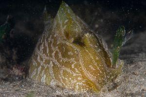 クサモチアメフラシ Syphonota geographica