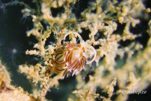 ニセハクセンミノウミウシ Cratena sp. 2