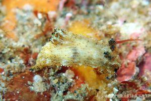 フジタウミウシ属の一種 11 Polycera sp.11