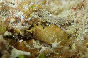 アプリシア・ニグロチンクタ Aplysia nigrocincta