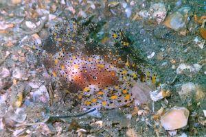 ヒカリウミウシ Plocamopherus tilesii