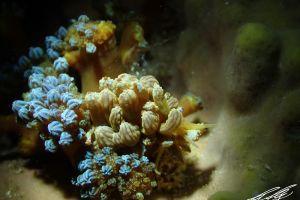 アカクセニアウミウシ Phyllodesmium kabiranum