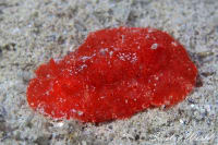 Red nudibranchs