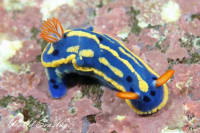 Blue nudibranchs