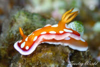 Orange nudibranchs