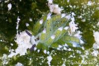 緑色のウミウシを探す