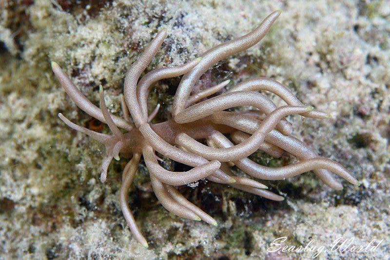 センジュミノウミウシ Phyllodesmium briareum