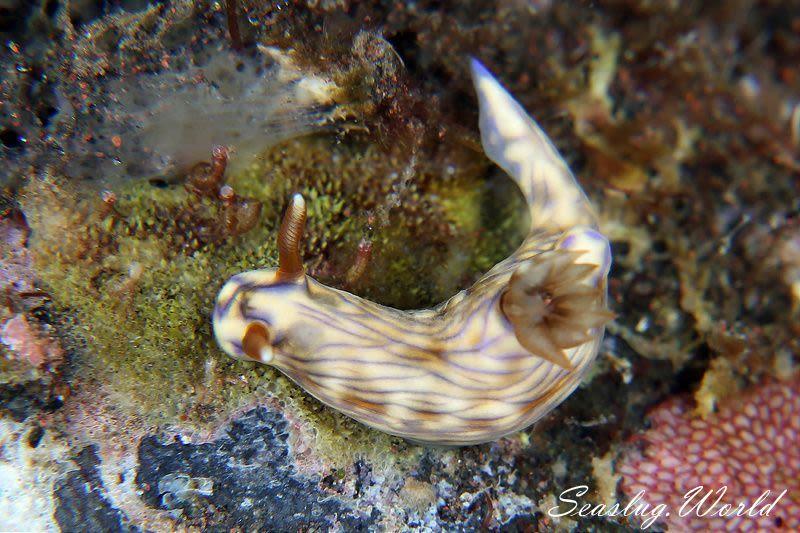 ソヨカゼイロウミウシ Hypselodoris zephyra