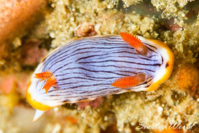 クロモドーリス・クアッガ Chromodoris quagga