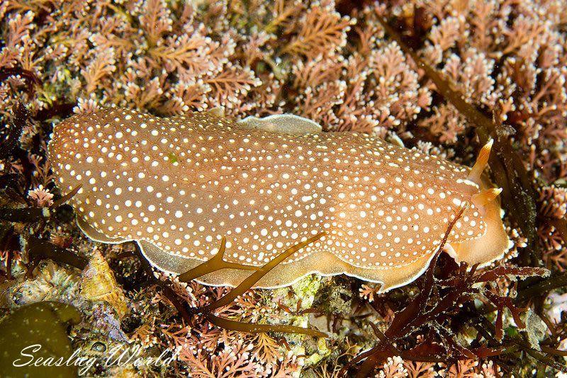 サメハダシタウミウシ Armina variolosa