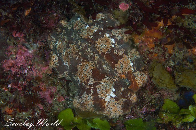 クモガタウミウシ Platydoris ellioti