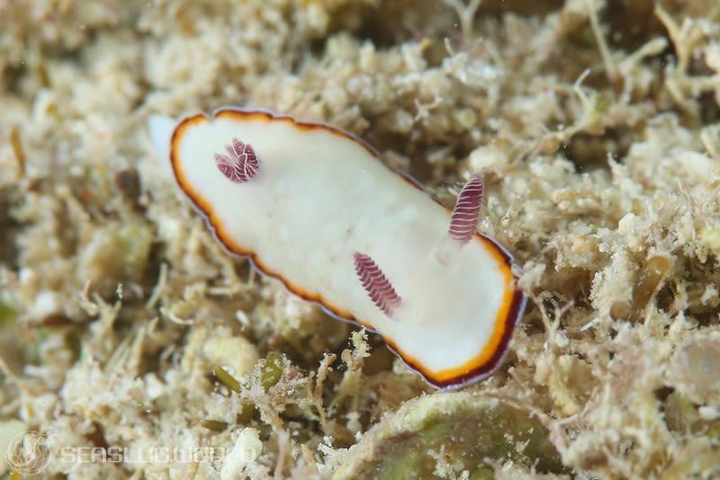 ハスイロウミウシ Goniobranchus preciosus