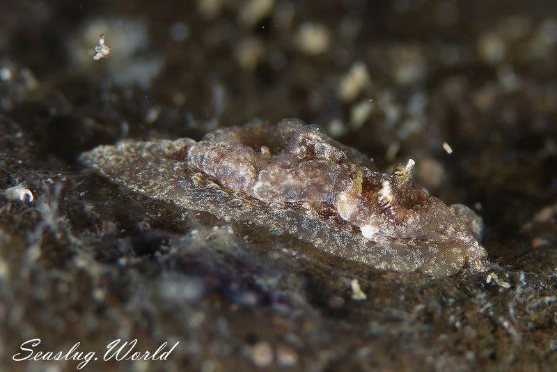 ネコジタウミウシ Goniodoris castanea