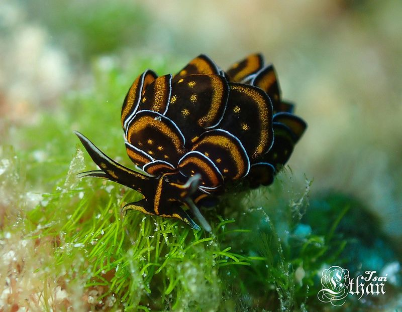 キマダラウロコウミウシ Cyerce nigricans