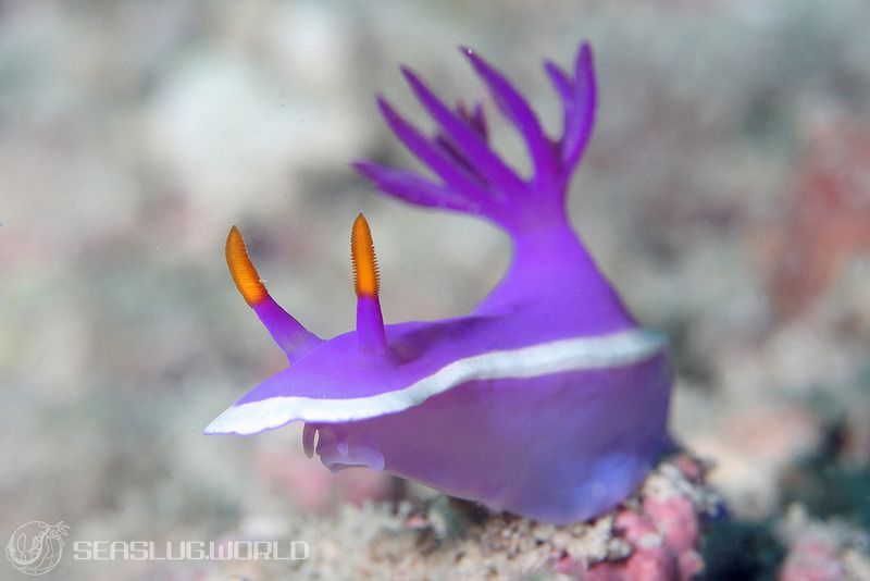 Hypselodoris variobranchia Gosliner & Johnson, 2018
