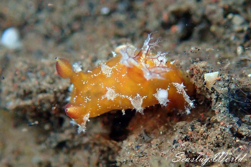 アカネヒカリウミウシ Plocamopherus maculapodium