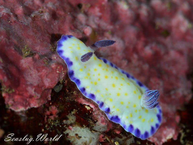 コモンウミウシ Goniobranchus aureopurpureus