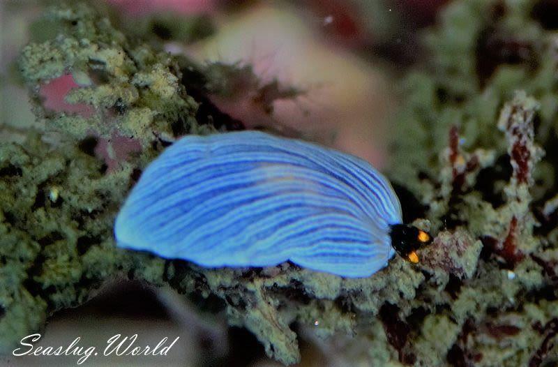 オトメウミウシ属の仲間 Dermatobranchus spp.