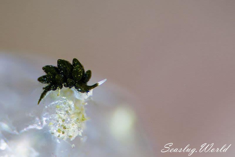 バロニアモウミウシ Ercolania sp. 2