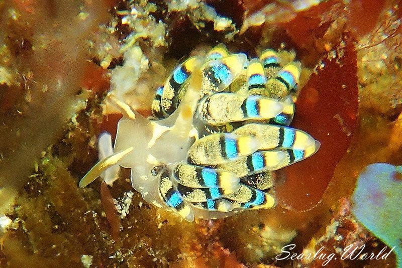 フジエラミノウミウシ属の一種 61 Trinchesia sp.61