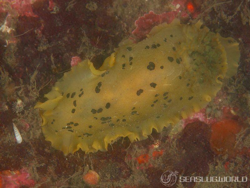 マダラウミウシ Dendrodoris fumata