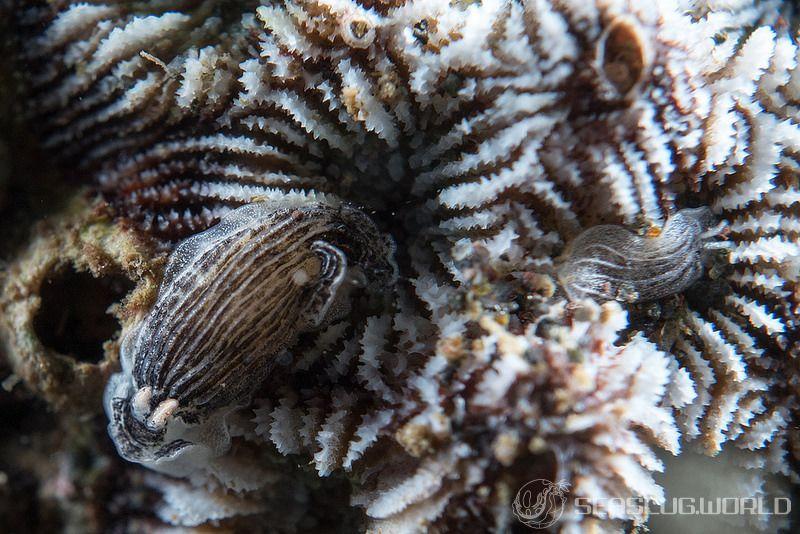 タテジマウミウシ属の一種 4 Armina sp. 4